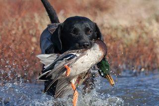 Собака сдобычей // Изображение: Pinterest