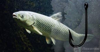 Рыбалка набелого амура: хитрости прикорма икакие снасти использовать