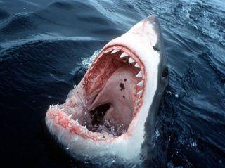 Ученые утверждают, что нападения акул будут учащаться