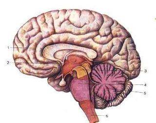 Учёными была обнаружена часть мозга,ответственная за совесть