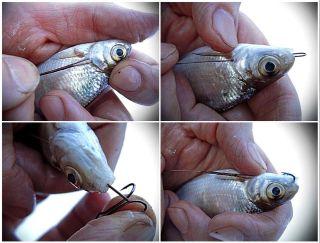 Правильная насадка малька через жабры. Источник изображения: YouTube-канал Михалыч о рыбалке