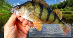 Рыбалка на окуня в августе: хитрости, которые не оставят без улова