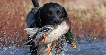 Охотничий календарь насентябрь: Чего ждать отповедения птиц икрупных животных