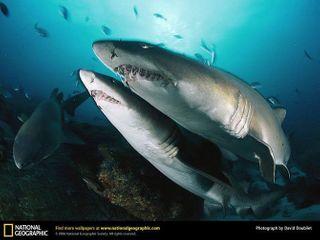 Морской окунь проглотил акулу целиком