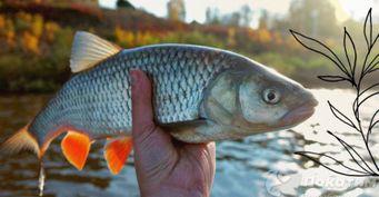 Рыбалка нахитрого голавля: Прозрачная леска имаскировка