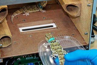 Ученые полагают, что гекконы на «Фотоне» могут начать размножаться