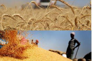Российская пшеница завоевала Египет. Источники фото: inosmi.ru, googleusercontent.com