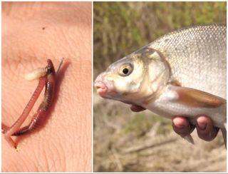 Беспроигрышное сочетание: червь и опарыш. Источник изображения: You-Tube-канал Flagman TV