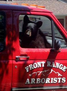 В США голодный медведь забрался в пикап за сэндвичем