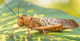 Саранча полна паразитов, или почему в 2020 году не стоит ловить рыбу на прожорливое насекомое