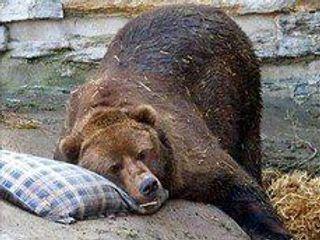 В Курильске полицейские застрелили голодного медведя