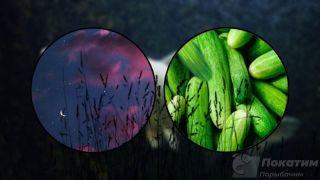 Ночь, растения иогурец— признаки продуктивной ловли белого амура. Автор изображения «Покатим Ру» Нина Беляева.