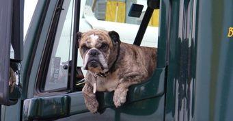 Половину американских автолюбителей не заботит безопасность собак в автомобиле