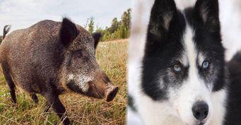 Охотничьи собаки: как выбрать четвероногого друга-компаньона