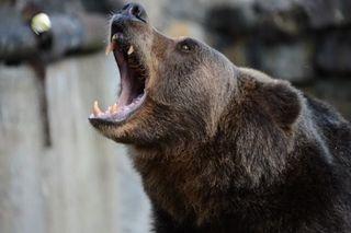 На Сахалине застрелили напавшего на подростка медведя