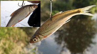 Вверху неправильный способ насадки, основная картинка - правильный, рыбка смотрит вниз. Источник изображения: YouTube-канал Михалыч о рыбалке