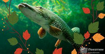Щучья осень: Особенности ловли иприкорма хищницы вжор назвал рыбак
