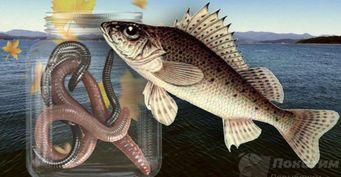 Рыбалка всентябре: как поймать голодного ерша игде его найти