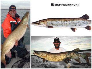 Вот так выглядит щука-гигант. Источники изображения: americanfishing.ru, rybalkavmonrale.ru, fishbiosystem.ru