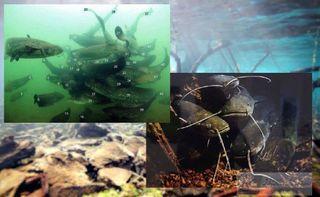 В стаях гиганты общаются друг с другом. Источники изображений: aquaria-info.ru, pershinohunt.ru