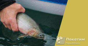 Ихтиолог: «Отпущенная рыба невыживает, если ловить позакону»