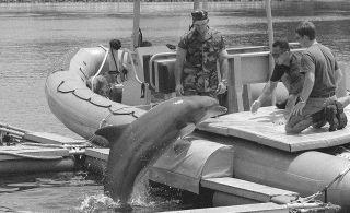 В Чёрном море пройдут учения с боевыми дельфинами