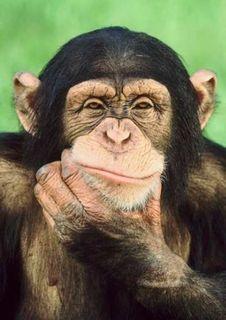 Ученые: Расшифрован язык жестов шимпанзе