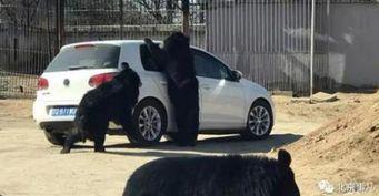 В Пекине медведи напали на автомобили в сафари-парке