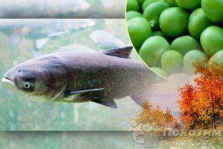 Рыбалка на толстолобика. Автор изображения «Покатим Ру» Нина Беляева.